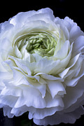 Garry Gay - White Ranunculus Close Up
