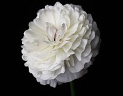 Carol Welsh - White Ranunculus Flower