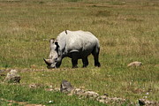 Rhinoceros Photo Posters - White Rhinoceros Calf Poster by Aidan Moran