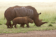 Rhinos Posters - White Rhinoceros Mother and Calf Poster by Matthias Breiter
