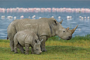 Mother And Young Framed Prints - White Rhinoceros Mother and Young Framed Print by Ingo Arndt