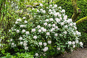 Azalea Bush Photo Prints - White Rhododendron In Spring Print by Priya Ghose