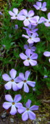 Naturalistic Posters - White River Phlox Poster by Jamie Johnson