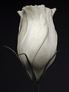 Floral Metal Prints - White Rose - Black and White Close Up Flowers Photography Metal Print by Artecco Fine Art Photography - Photograph by Nadja Drieling