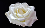 Catherine Davies - White Rose