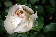 Soft Digital Art - White Rose by Christina Rollo