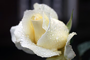 White Rose Photos - White Rose by  Errin Schaeffer