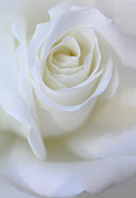 Macros Prints - White Rose Floral Whispers Print by Jennie Marie Schell