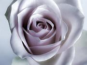 Soft Pink Metal Prints - White Rose Flower Closeup - Flower Photograph Metal Print by Artecco Fine Art Photography - Photograph by Nadja Drieling