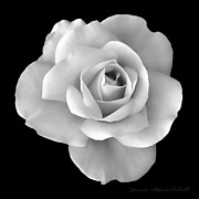 Rose Closeup Posters - White Rose Flower in Black and White Poster by Jennie Marie Schell