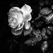Rain Drops Prints - White Rose Full Bloom Print by Darryl Dalton