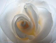 Energy Pyrography Prints - White Rose Glow Print by Sheila Finkelstein