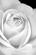 Jennie Marie Schell Art - White Rose in Black and White by Jennie Marie Schell