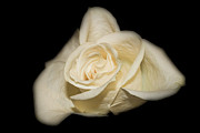 White Roses Originals - White Rose by Michael Waters