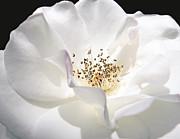 Rose Portrait Photos - White Rose Petals by Jennie Marie Schell