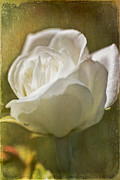 Selina Jackson - White Rose