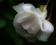 Smilin Eyes  Treasures - White Rose With Raindrops