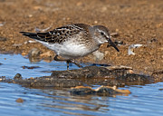 Quest Prints - White-rumped Sandpiper... Print by Nina Stavlund