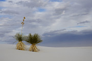 Slide Posters - White Sands New Mexico Yucca Pair Poster by Bob Christopher
