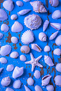White Sea Shells On Blue Board Print by Garry Gay