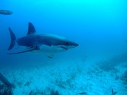 Rodney Fox Photos - White shark cruising the seafloor by Crystal Beckmann