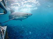 Rodney Fox Photos - White shark surface cage by Crystal Beckmann