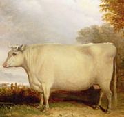 Horned Posters - White Short-horned Cow in a Landscape Poster by John Vine