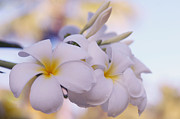 Delight Photo Framed Prints - White Snow Frangipani Flowers Framed Print by Jenny Rainbow