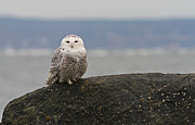 Wildlife Pics Framed Prints - White Snowy Owl Framed Print by Juergen Roth