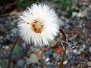 White Spring Wildflower Print by Patricia Januszkiewicz