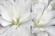 White Flower Photos - White Star Magnolia Flowers by Jennie Marie Schell