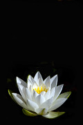 White Water Lily Posters - White Star Poster by Rebecca Cozart