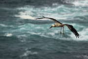Alentejo Photos - White stork flying by Ruben Vicente