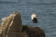 Alentejo Photos - White stork up-down display by Ruben Vicente