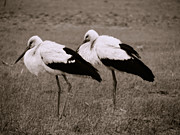 Red Feather Prints - White storks Print by Gabriela Insuratelu