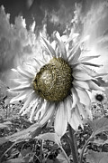 Spring Scenes Posters - White Sunflower Poster by Debra and Dave Vanderlaan