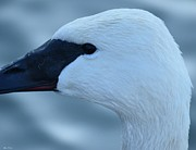 Nature Study Photos - White Swan Head Study by Maria Urso