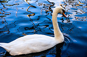 White Swan Photos - White Swan in the Reflective Water by Jenny Rainbow