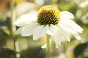 Coneflower Prints - White Swan Print by Juli Scalzi