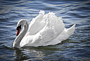 Swim Photos - White swan on water by Elena Elisseeva