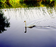 Picture Posters - White swan solitary in colour Poster by Richard Morris