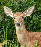 Rob Frederick - White Tail Fawn