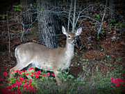 Crystal Joy Photography - White-Tailed Deer