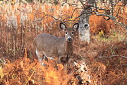 Autumn Foliage Photos - White Tailed Deer in Autumn Meadow by John Burk