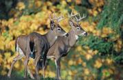 Two Tailed Photo Prints - White-tailed Deer Odocoileus Print by Thomas Kitchin & Victoria Hurst