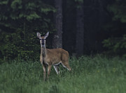Atmospheric Posters - White-tailed deer Poster by Veikko Suikkanen