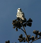 Elka Lange - White-tailed Kite