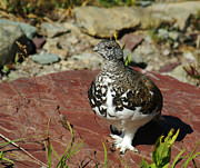 Sue Smith - White-tailed Ptarmigan