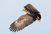 Natural Focal Point Photography - White-tailed Sea Eagle...