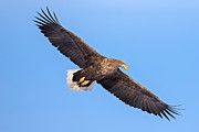 Natural Focal Point Photography - White-Tailed Sea Eagle